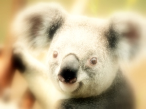 Koala Leads at The Fifth Prasad