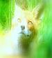 Disgruntled Fox Leads The Sixth Prasad