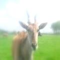 Goat Leads The Eleventh Prasad