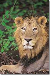asiatic_lion_185_20050328