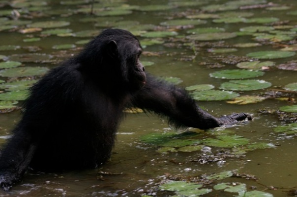 bipedapwaterforaging.werewolf.bonobo_water_walking_george_zaharoff