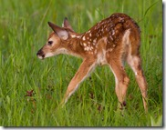 fawn..left,right,left,right