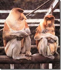 proboscis-monkeyfamily