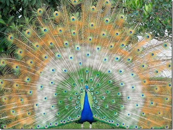 The Beautiful Green Indian peacock