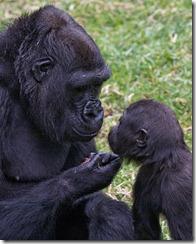 animals,gorillas,child,mother,baby,gorilla,gorilla-0552624f4ed0b67008172e34be8dae89_h