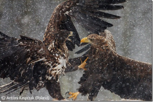 eagles.fighting.to.be.first.in.line.to.eat.moose.bwap7