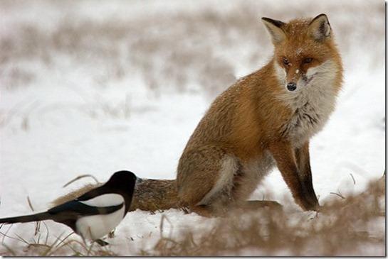 fox,humour,photography,animals,wild,life,روباه-0348342fa636d433ae6ce2ff61ffa1c6_h