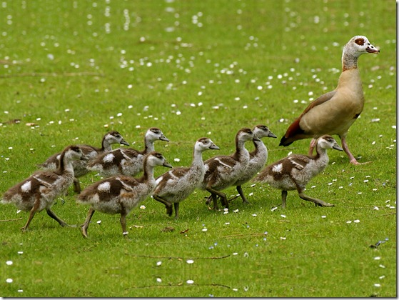 egyptian_goose_with_goslings_1024x768
