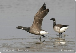 bren-goose-38223